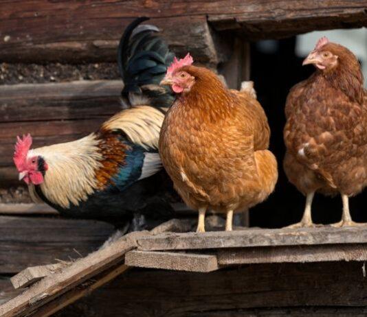 Three chickens standing on a chicken koop