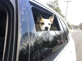 dog riding in a car