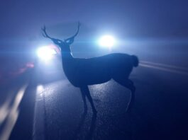 How To Avoid Hitting a Deer With Your Car